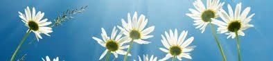 daisies thin