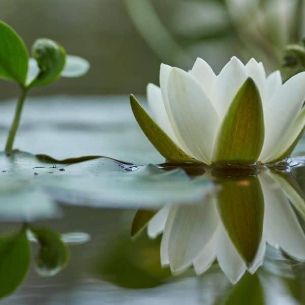 light-heart meditation still Lily pond