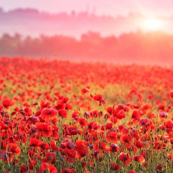 Nice scene on red poppy field